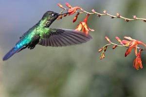 Fiery-throated Hummingbird in Costa Rica photo by Debbie Thompson