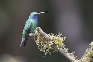 Green Violetear hummingbird in Costa Rica photo by Debbie Thompson