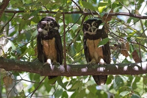 Spectacled Owls in Costa Rica photo by Debbie Thompson