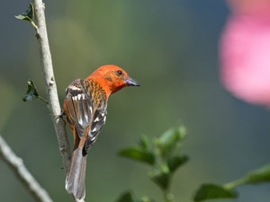 Flame-colored Tanager © Debbie Thompson