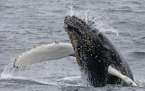 Humpback Whale © Cheesemans' Ecology Safaris
