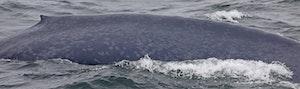 Blue Whale © Cheesemans' Ecology Safaris