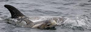 Rissos Dolphins © Cheesemans' Ecology Safaris