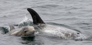 Rissos Dolphin © Cheesemans' Ecology Safaris