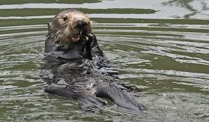 Sea Otter © Cheesemans' Ecology Safaris